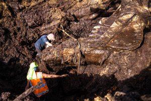 Kauri excavation