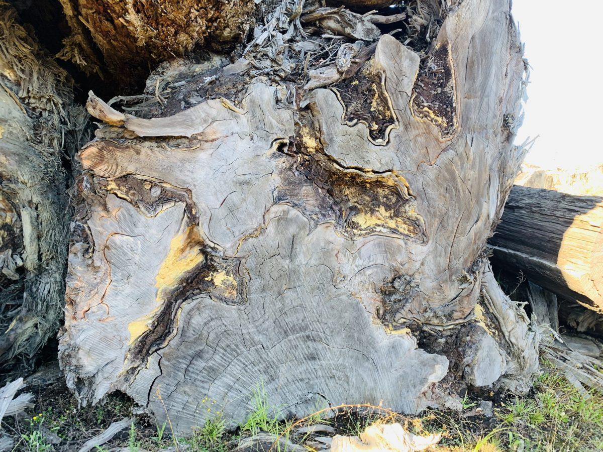 Kauri stump